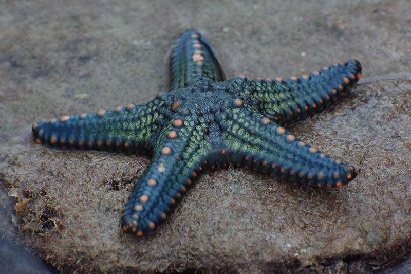 Starfish_09_(paulshaffner)
